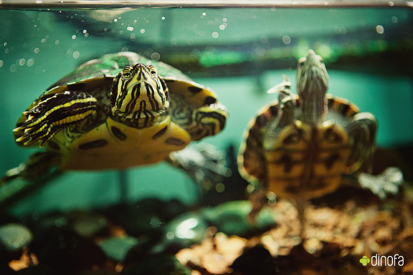 Gallery images and information: Pet Turtle Types